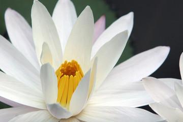 waterlilian