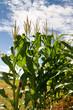 Plantaçao de milho