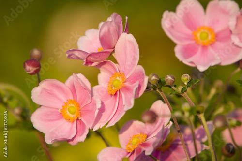 Anemone, September Charm