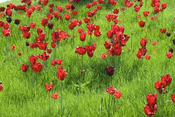 Tulpenbluete, Wiese