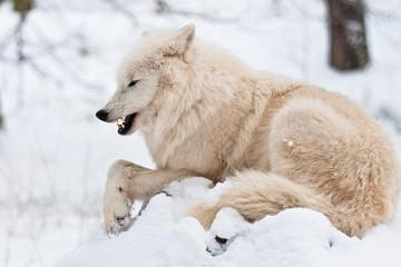 Polarwolf mit schlechter Laune