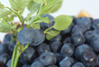 Blueberry sprig