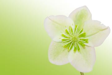 Heilpflanze Helleborus
