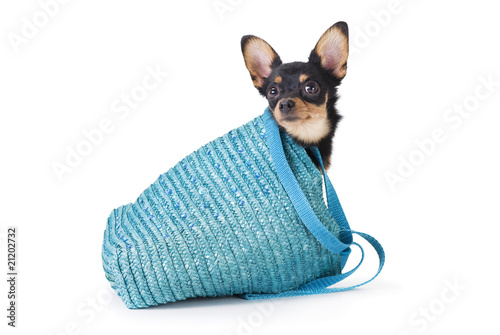 studio portrait cute dog toy-terrier