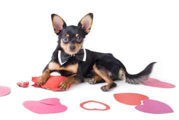 studio portrait cute dog toy-terrier