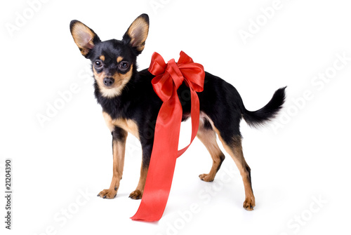 toy-terrier with a red ribbon around his neck.