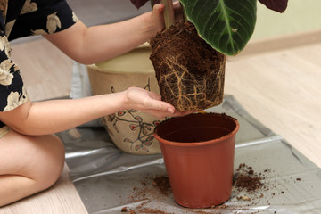 Housewife transplants plant