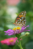 Beautiful Monarch butterfly sitting on top of pink Zinnia
