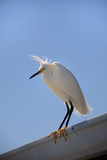 Beautiful white Egret sitting on roof with blue sky