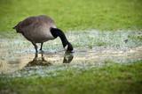 oie bernache oiseau migration canada boire marais poster