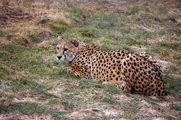 Cheetah resting after meal