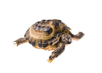 Land turtle isolated on white background