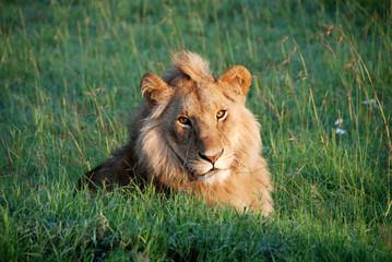 Leone al National Park Masai Mara