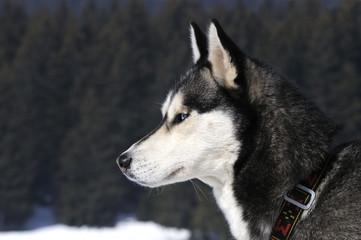 sublime chien nordique