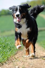 Berner Sennenhund, Hündin, im Sprint