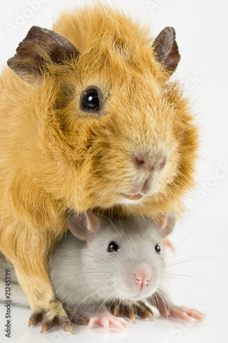 Closeup rat and guinea pig playing