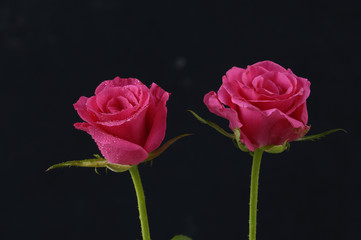 Pair of two beautiful roses on black