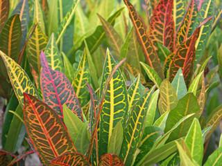 feuilles croton