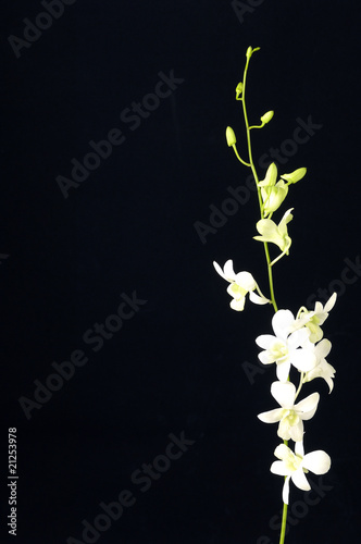 branch tiger's orchids with copy space