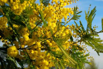 Ramo di Mimosa