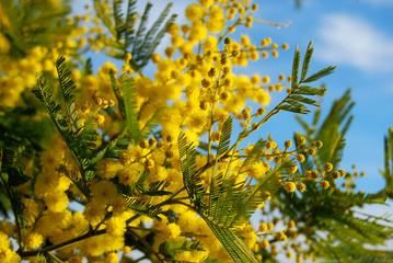 Mimosa e cielo