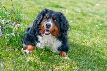 Bernese Mountain Dog lying on grass
