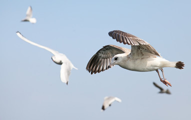 Seagulls are flying flock and look in the water the fish