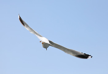 Seagull are flying flock and look in the water the fish