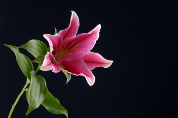 Lily flower on black background