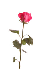 Red rose from a strip.