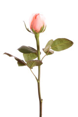 rose,isolated.