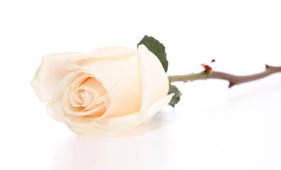 Wite rose