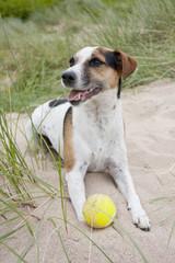 Jack Russell Dog Playing on Beach