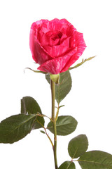 Red rose, isolated.