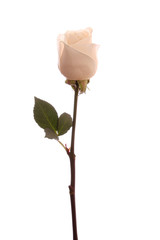 White rose, isolated.