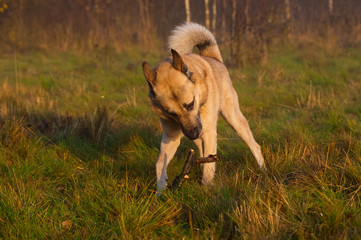 West Siberian laika (husky) with a stick