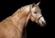 Palomino horse in black
