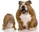 bulldog bullying poster