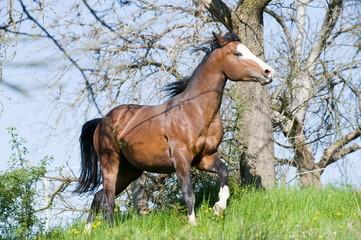 3-jähriger Paint Horse Hengst