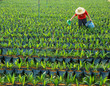Leinwandbild Motiv oil palm nursery and worker