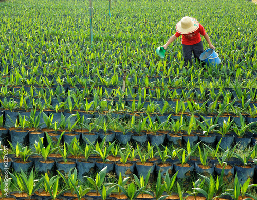 oil palm nursery and worker - 21276557