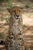cheetah in Harnas Foundation  Namibia poster