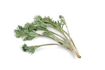 white artemisia