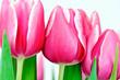 Tulpen close-up