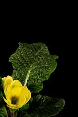 primula gialla