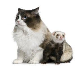 Front view of Ragdoll cat and a ferret sitting and looking away