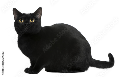 Side view of Bombay cat, sitting in front of white background