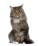 Front view of Maine coon, sitting in front of white background poster