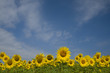 Sunflowers field, blue sky.  Provence France