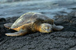 Dozing sea turtle